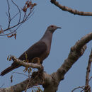 Image of Barking Imperial Pigeon