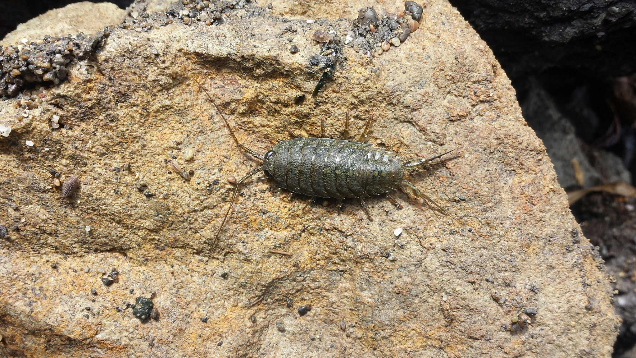 Image of <i>Ligia occidentalis</i> (Dana 1853)