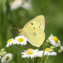Image of Eastern Pale Clouded Yellow