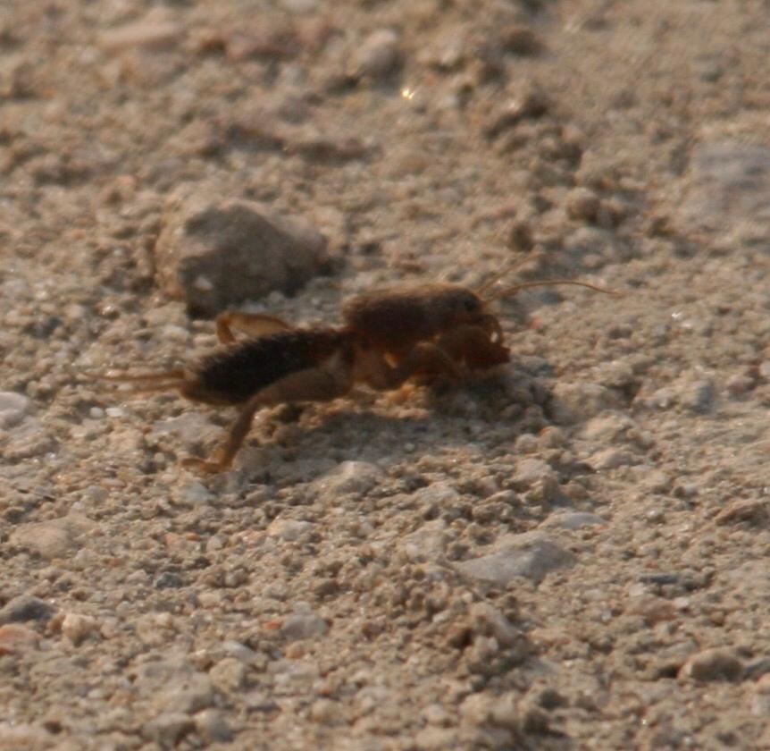 Image of Mole cricket