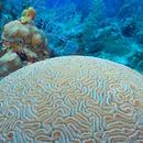 Image of Boulder Brain Coral