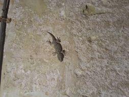 Image of <i>Tarentola mauritanica</i>