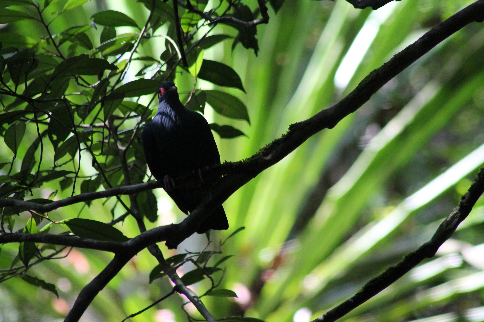 Image of Madagascan Blue Pigeon