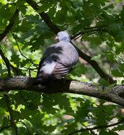 Image of <i>Columba <i>palumbus</i></i> palumbus Linnaeus 1758