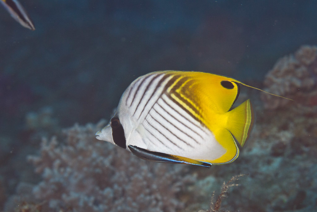 Yellow Tropical Butterflyfish, Copperband Butterflyfish, With White Stock Photo