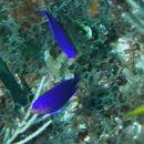 Image of Cherub Pygmy Angelfish