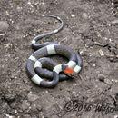 Image of False Cat-eyed Snake