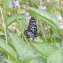 Image of Dark Blue Tiger