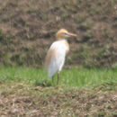 Image of <i>Bubulcus ibis coromandus</i>