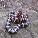Image of Sonoran Mountain Kingsnake