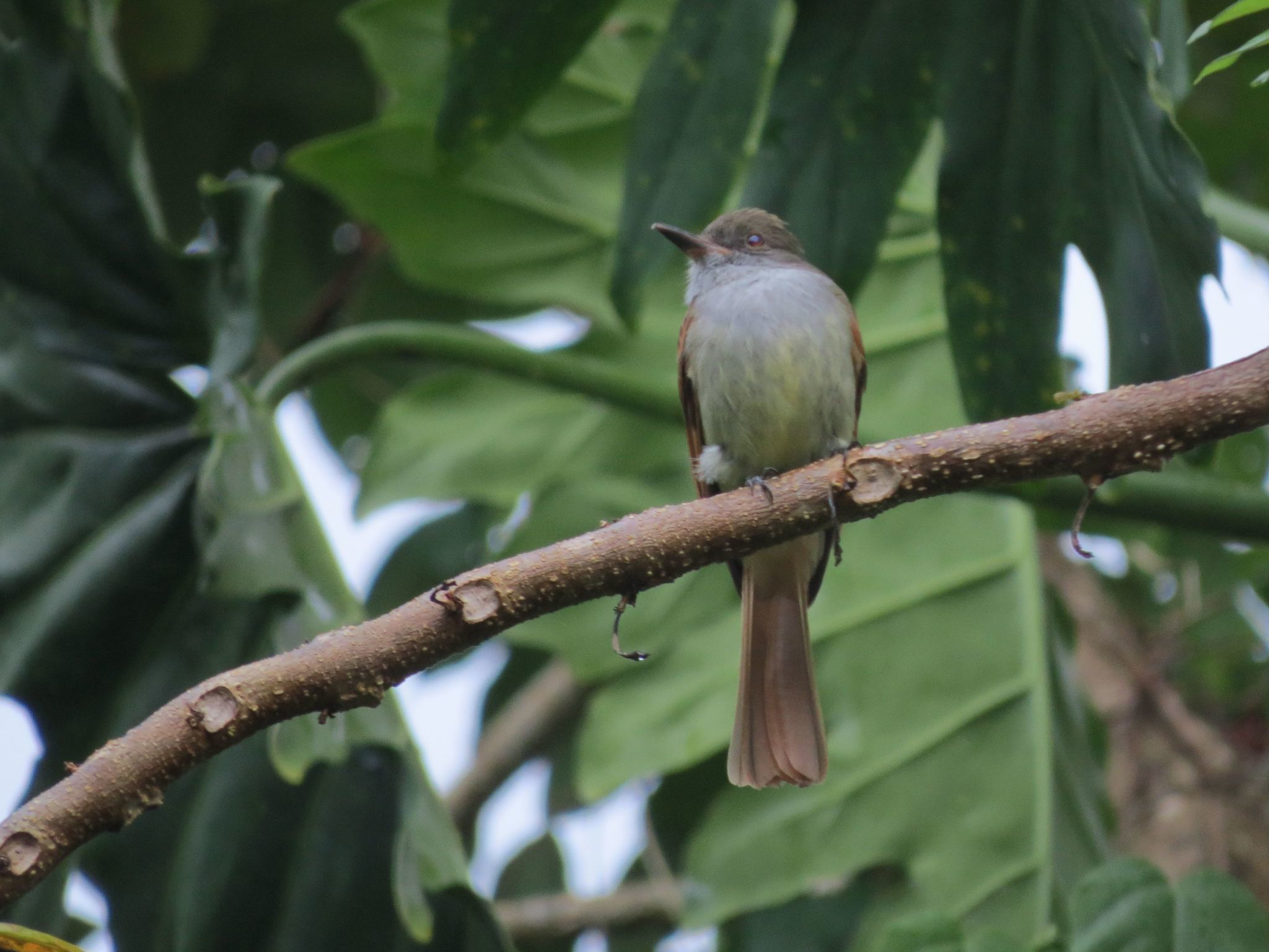 Image of Rufous-tailed Flycatcher