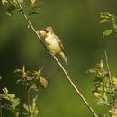 Image of Icterine warbler