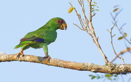 Image of White-fronted Parrot