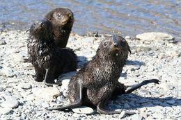 Image of Antarctic Fur Seal