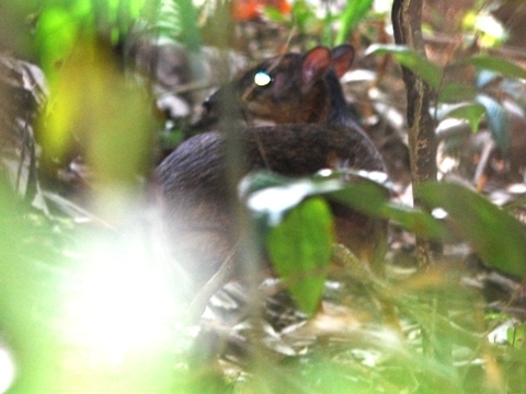 Image of Lesser Mouse-deer