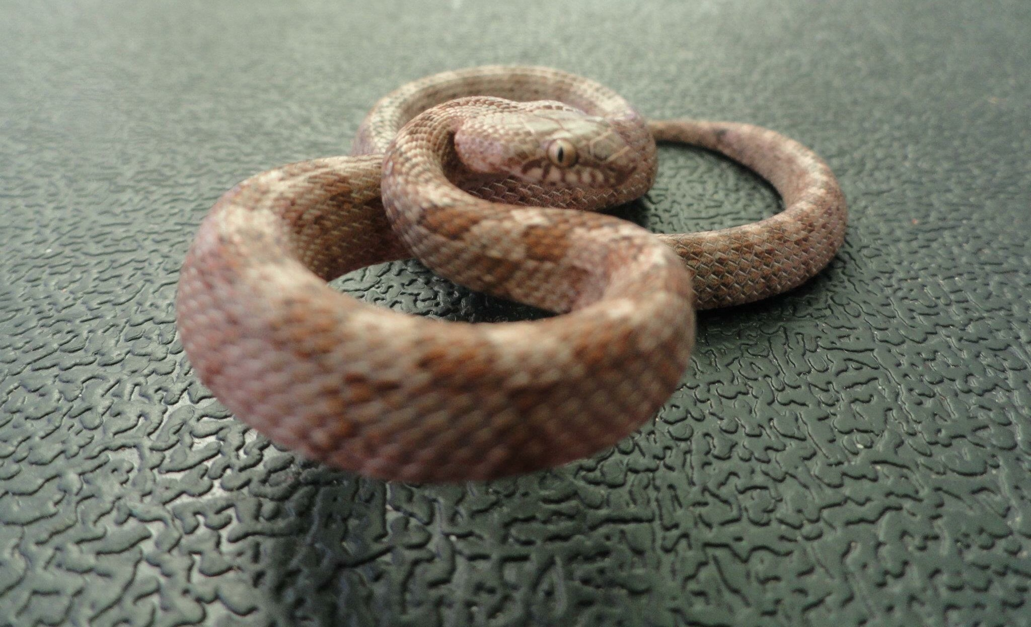 Image of Cat Snake
