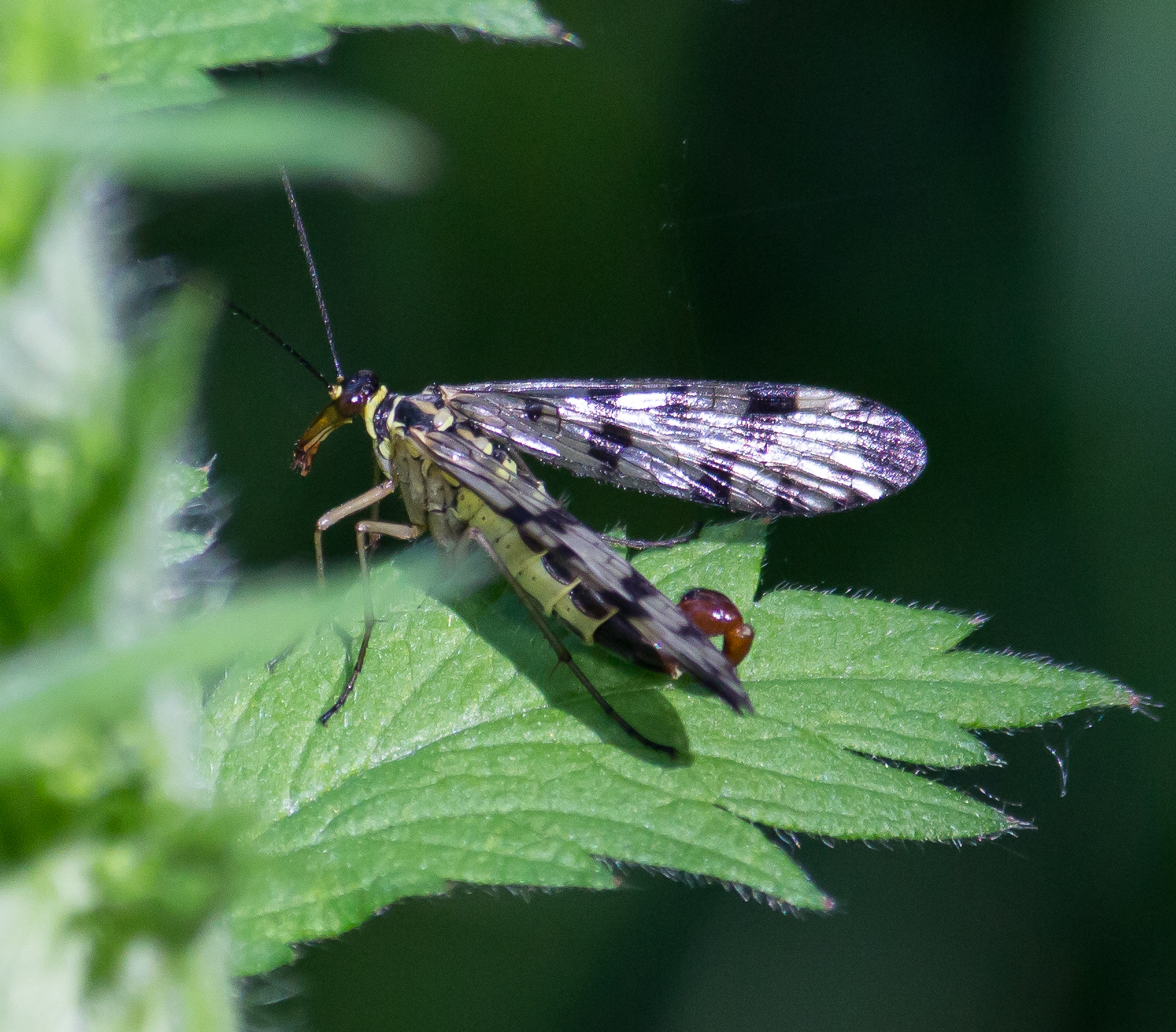 Image of Common scorpionfly