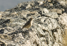 Image of Rufous-banded Miner