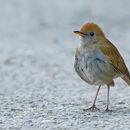 Image of Ruddy-capped Nightingale-Thrush