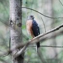 Image of Chinese Sparrowhawk