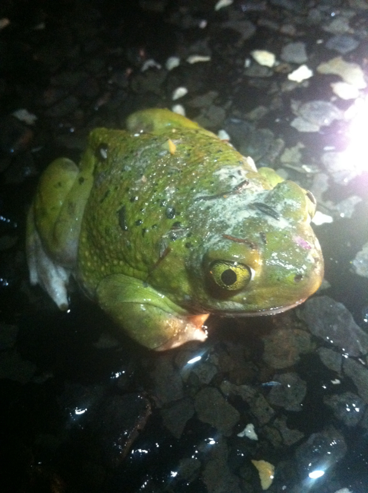 Image of Couch's Spadefoot