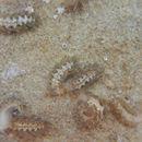Image of <i>Calma gobioophaga</i> Calado & Urgorri 2002