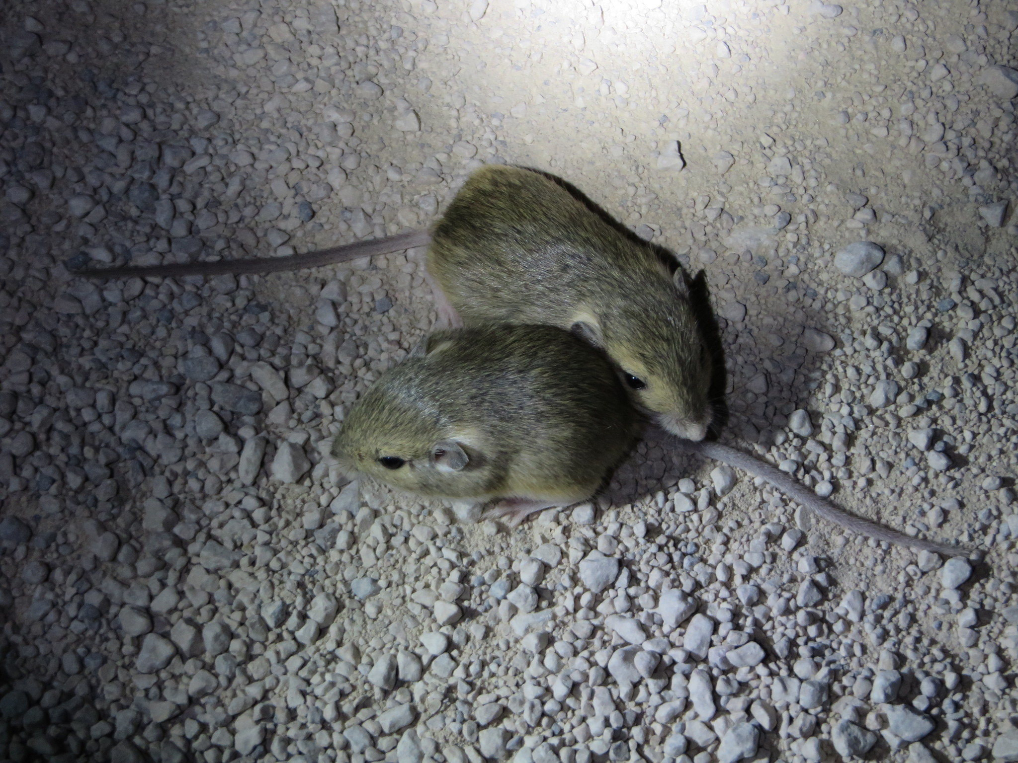 Image of Merriam's pocket mouse