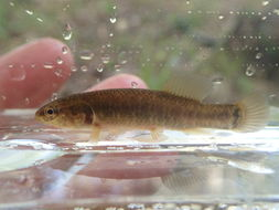 Image of Central mudminnow