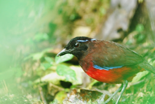 Image of Graceful Pitta