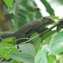 Image of Black-striped Squirrel