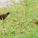 Image of Barred buttonquail