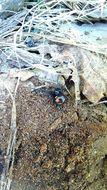 Image of Northern Black Widow