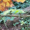 Image of Cameroon Sailfin Chameleon