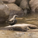 Image of Rufous-throated dipper