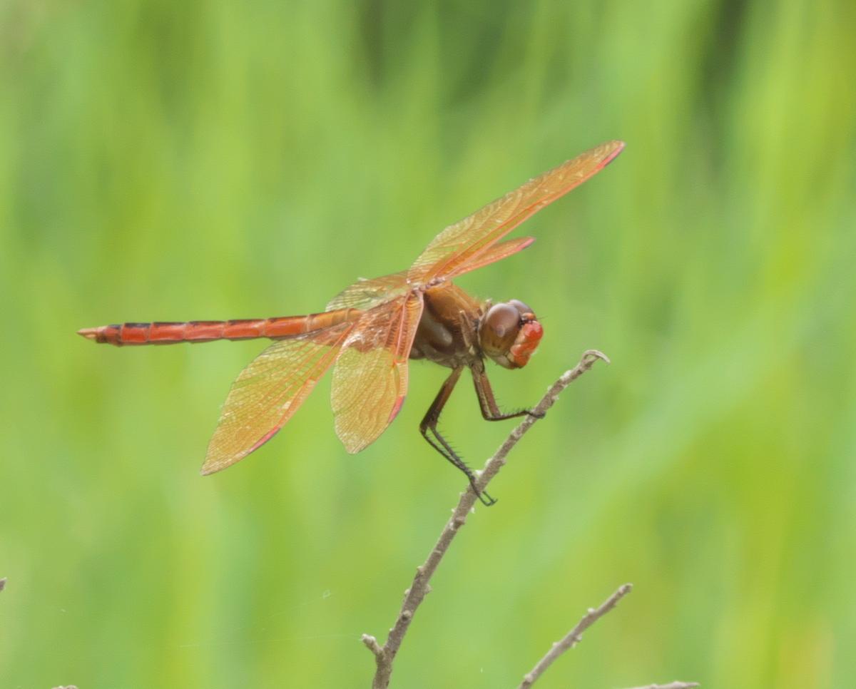 Image of Golden-winged Skimmer