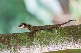 Image of Elliot's Forest Lizard