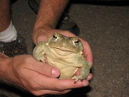 Image of Colorado River Toad Sonoran Desert Toad