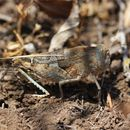 Image of Saussure's Blue-winged Grasshopper