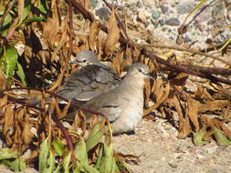 Image of Picui Ground-Dove