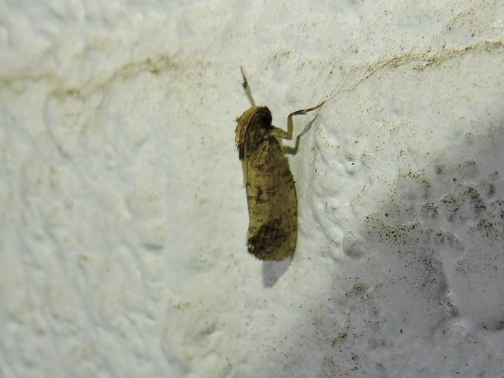Image of <i>Acrolophus popeanella</i>
