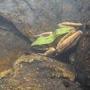 Image of Chloronate Huia Frog