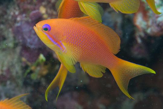 Image of Sea goldie