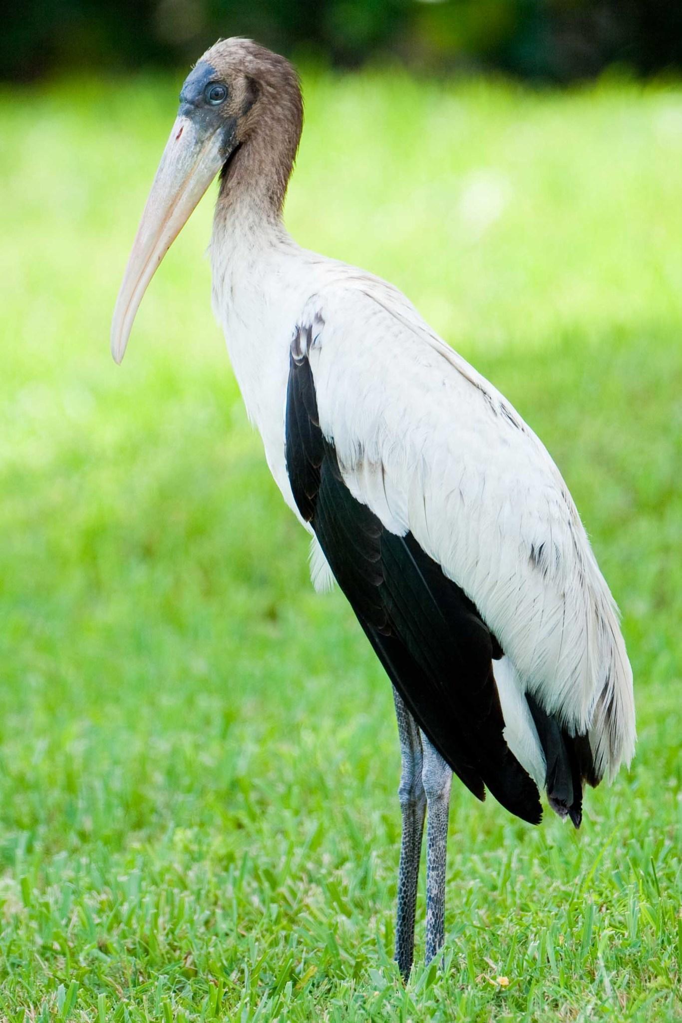 Image of Wood Pelican