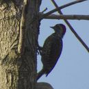 Image of Green-backed Woodpecker