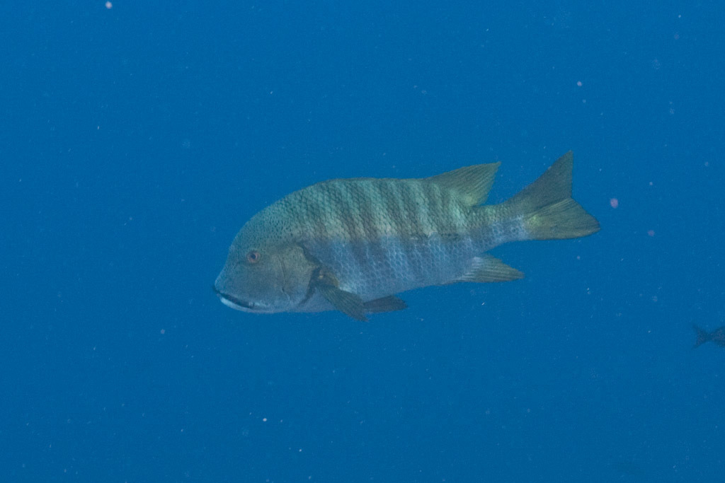 Image of Barred pargo