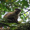 Image of brown lemur