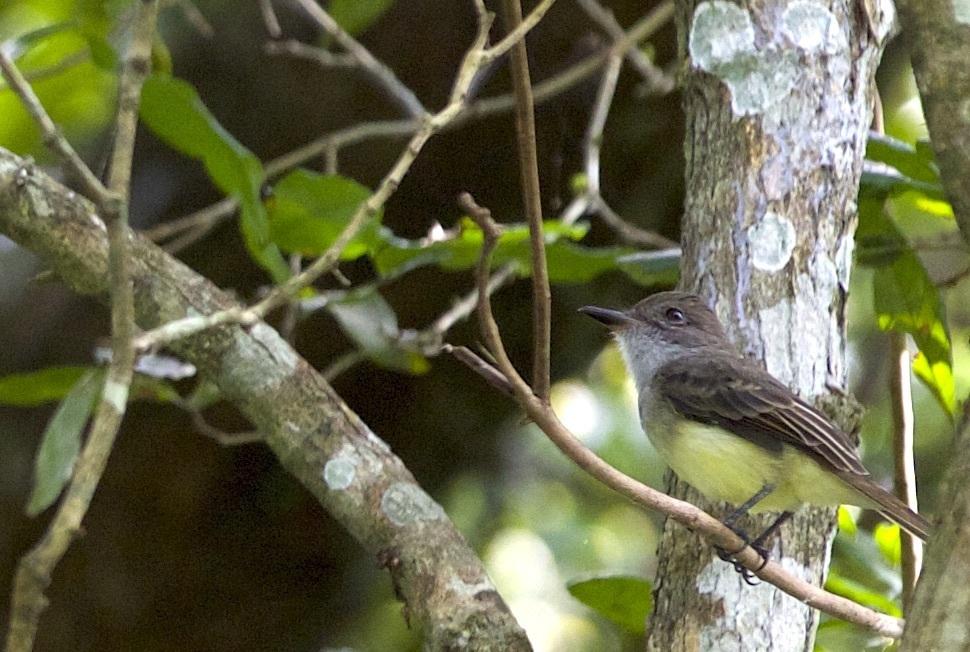Image of Short-crested Flycatcher