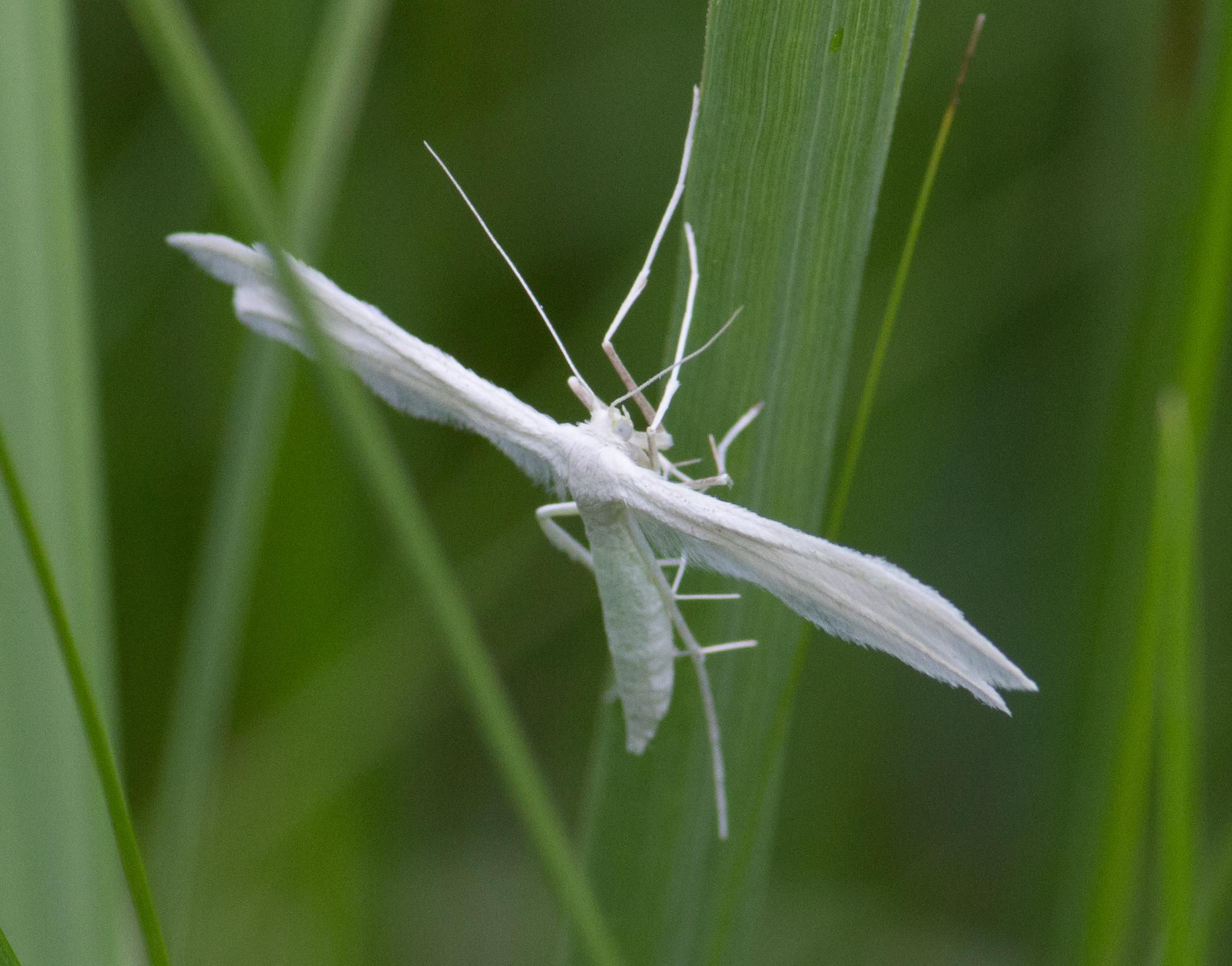 Image of White Plume