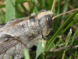 Image of Desert locust
