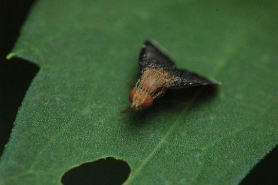 Image of <i>Eutreta noveboracensis</i>